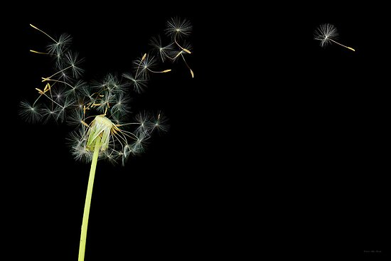 Flower - Dandelion - Gesundheit  by Mike  Savad