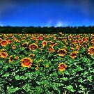 Field of Sunflowers by Dana Horne