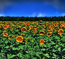 Field of Sunflowers by Dana Horne