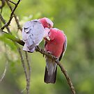 Honey Its  Spring  you know what that means  Pair Of Galahs  by Kym Bradley