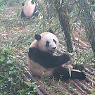 Panda bear in China by TravelGrl