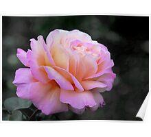 rose garden rose Poster