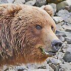 Katmai Bear Portrait by Graeme  Hyde