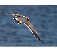 Pacific Gull with Shell Photographic Print