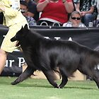 Belgian Groenendael in the show ring. by Belgian Shepherd Dog Club of QLD Inc