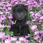 Groenendael puppy helping in the flower garden. by Belgian Shepherd Dog Club of QLD Inc