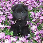 Groenendael puppy helping in the flower garden. by Belgian Shepherd Dog Club of QLD Inc