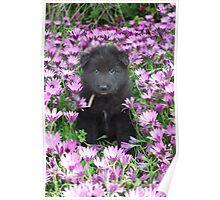 Groenendael puppy helping in the flower garden. Poster
