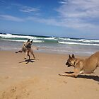 Belgian Laekenois & Malinois beach games by Belgian Shepherd Dog Club of QLD Inc