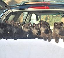 Belgian Groenendael babies - Driving Miss Daisy. by Belgian Shepherd Dog Club of QLD Inc