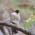 In Falcon trouble.   Peregrine Falcon (Falco peregrinus)  by Donovan wilson