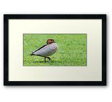 Australian Wood Duck (Chenonetta Jubata) Framed Print