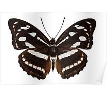 butterfly species Athyma reta moorei common name malay staff sergeant Poster