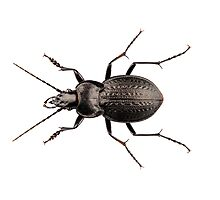 beetle species carabus coriaceus Photographic Print