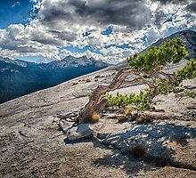 Lembert Dome Pine by Cat Connor