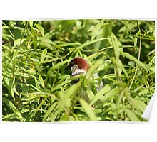 House Sparrow in a Tree Poster