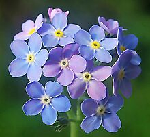 Forget me nots ,.....  if I remember right.! by relayer51
