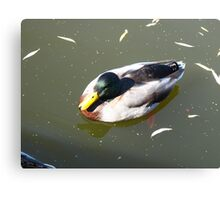 Duck hunting, with a camera only! Canvas Print