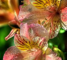 Tiger Lily by Colin Metcalf