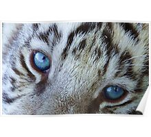 Baby Blue Tiger Eyes Poster