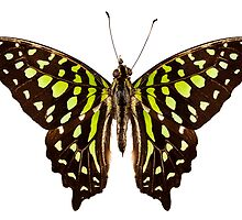 "Butterfly species Graphium agamemnon ""Tailed Jay"" by Pablo Romero"