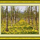 Dandelions in the vine fields by marchello