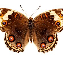 "Butterfly species Junonia orithya ""Eyed Pansy"" by Pablo Romero"