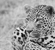 Male Leopard side glance black and white by Michelle Sole