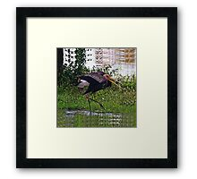 MALE STORK BIRD..TRYING TO ATTRACT FEMALE..BREEDING SEASON... VERSION TWO VARIOUS APPAREL-JOURNAL,PILLOW,TOTE BAGS ,GRAPHIC TEE SHIRTS,ECT.. Framed Print
