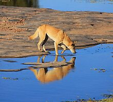 Dingo Drinking by Nick Delany