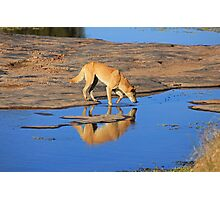 Dingo Drinking Photographic Print