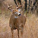 Blood Antlers - White tailed deer Buck by Jim Cumming