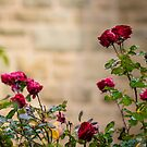 Roses at Bendigo Cathedral by Sherene Clow