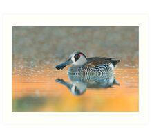 Pink-eared Duck - Bollard's Lagoon, South Australia Art Print