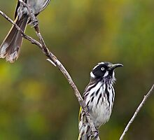 Pair of New Holland Honeyeaters by mncphotography