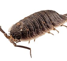 woodlouse species porcellio wagnerii by Pablo Romero
