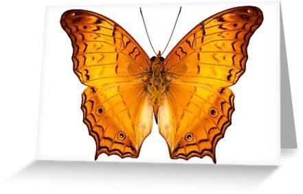 butterfly species Vindula dejone austrosundana by paulrommer