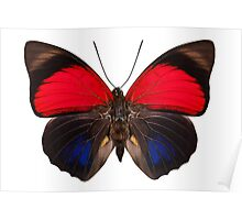 Butterfly species Agrias claudina lugens Poster