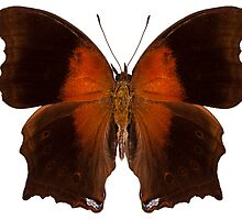 brown and orange butterfly by Pablo Romero