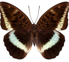 brown Nymphalidae butterfly by Pablo Romero