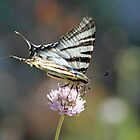 swallowtail butterfly by anfa77