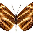 """Butterfly species Neptis omeroda omeroda """"sailer butterfly"""" by paulrommer"""
