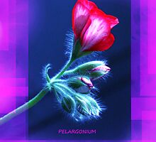 Pelargonium from my garden. by MQ20