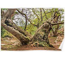 Samos Greece Plane Tree Poster