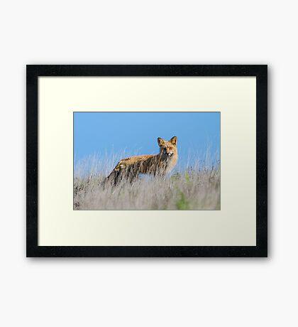 Red Fox Hunting Rabbits Framed Print