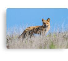 Red Fox Hunting Rabbits Canvas Print