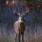 A buck stands in front of me by Jim Cumming