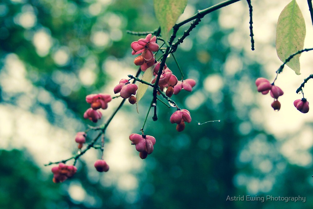 Spindleberry by Astrid Ewing Photography