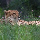 Resting Cheetahs by virginian