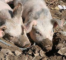 Pigs in Mud by rhamm
